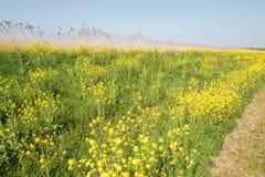 Digue avec des fleurs de colza, graine de colza, dans le springtimerve image stock