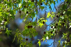 Afternoon Branches Blowing in the Breeze stock photography