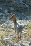 dik Намибия damara Стоковое Фото