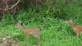 Dik dik antilopen stock footage