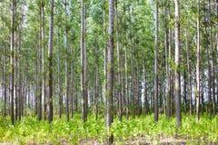 Dik bos met veel dunne populierbomen stock afbeelding