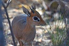 Dik-dik del ` s di Kirk nella biosfera di Waterberg in Namibia fotografie stock