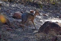Dik-dik del ` s di Kirk nella biosfera di Waterberg in Namibia fotografia stock