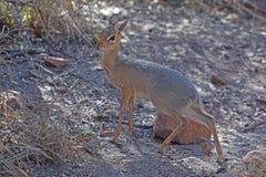 Dik-dik del ` s di Kirk nella biosfera di Waterberg in Namibia immagini stock