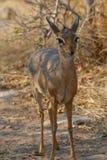 Dik-dik, самый малый самец оленя, стоя в bushveld Стоковая Фотография RF