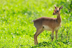 Dik dik Stock Photography