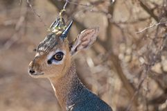 Dik-Dik. The dik dik is the smallest antilope of south western Africa. Fast,agile it is food for all major predators Stock Photos