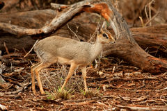 Dik Dik Royalty Free Stock Photography