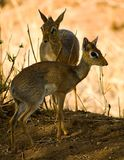 Dik-dik Photos stock
