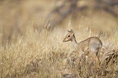 Dik-dik. A small antelope, Samburu National Reserve, Kenya, East Africa Royalty Free Stock Images