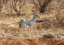 Dik dik Royalty Free Stock Photos