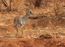 Dik dik Stock Photos