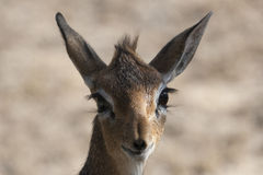 Dik-dik Stockfotos