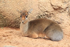 Dik-dik Royalty Free Stock Photos