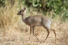 A Dik Dik antelope Royalty Free Stock Image