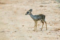 Dik Dik Antelope. Antelope Dik Dik in the African savannah in Kenya stock image