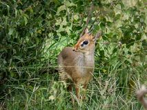 Dik dik antelope royalty free stock photo