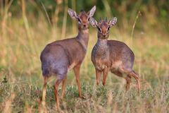 Dik-dik antilope pair in the beautiful nature habitat Royalty Free Stock Images