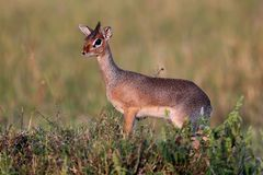 Dik-dik antilope pair in the beautiful nature habitat Stock Photo