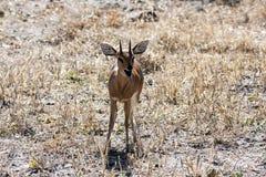 Dik Dik, Botswana Fotografia de Stock