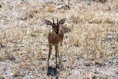 Dik Dik, Botswana Fotografia de Stock Royalty Free