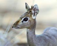 Dik Dik gazela Zdjęcia Royalty Free