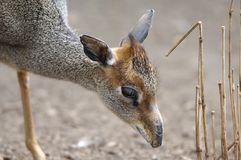Dik Dik Grazing Royalty Free Stock Photo