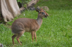 Dik Dik with His Mouth Open with a Twig Royalty Free Stock Photo