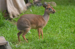 Dik Dik with his Mouth wide Open with a Twig Stock Images