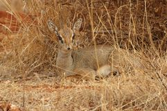 Dik-dik, Kirk's (Madoqua kirkii) Royalty Free Stock Photos