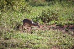 Dik-Dik liten antilop i Serengetien Fotografering för Bildbyråer