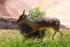 Dik Dik Stock Photo