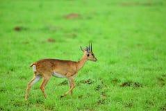 Dik -dik Murchison valt nationaal park, Oeganda royalty-vrije stock afbeeldingen