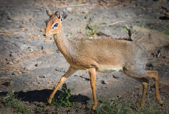 Dik-dik na corrida Fotos de Stock Royalty Free