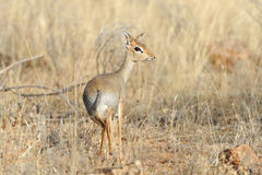 Dik-dik Stock Photography