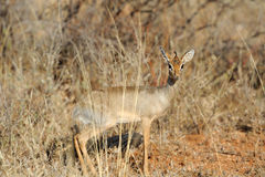 Dik-dik Royalty Free Stock Photography