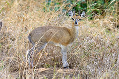 Dik-dik in the National Reserve of Africa Royalty Free Stock Photography