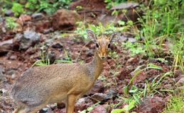 Dik Dik portrait stock photo