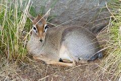 Dik-Dik que descansa na grama alta fotografia de stock royalty free
