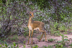 A dik-dik, a small antelope in Africa. Lake Manyara national par Stock Photo