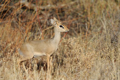 Dik-dik Royalty Free Stock Photo