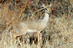 Dik-dik Royalty Free Stock Image