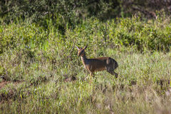 Dik-Dik small Antelope in the Serengeti Stock Image
