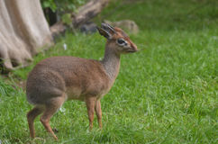 Dik Dik with a Small Twig in His Mouth Stock Photos