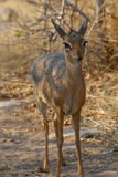A dik-dik, the smallest buck, standing in the bushveld Royalty Free Stock Photography