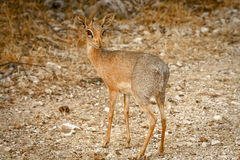 Dik-dik standing alone Royalty Free Stock Photo