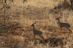 Dik-Dik. Two dik-dik's on african reserve Stock Photos