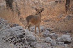 Dik-dik w Etosha parku narodowym Fotografia Royalty Free