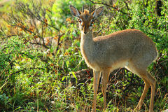 Dik Dik in the wild. Royalty Free Stock Images