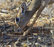 Dik-dik wild goat Royalty Free Stock Images